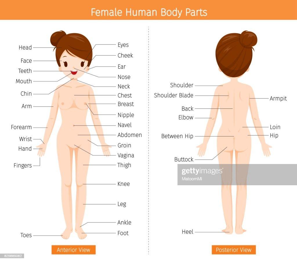 Weibliche Anatomie Externe Organe Körper Vektorgrafik | Getty Images