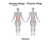 Female Human Body - Muscle map, Obliques
