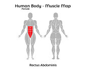 Female Human Body - Muscle map, Rectus Abdominis