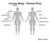 Female Human Body Muscle map