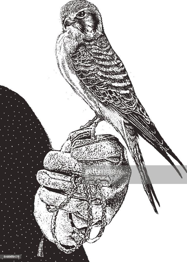 Female Kestrel Perching.