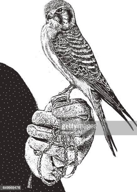 female kestrel perching. - falconry stock illustrations