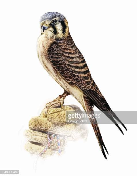 female kestrel perching. - falcon bird stock illustrations, clip art, cartoons, & icons