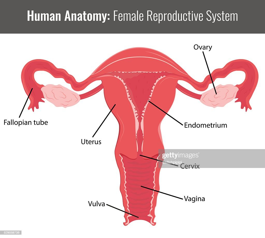 Female Reproductive System Detailed Anatomy Vector Medical Vector