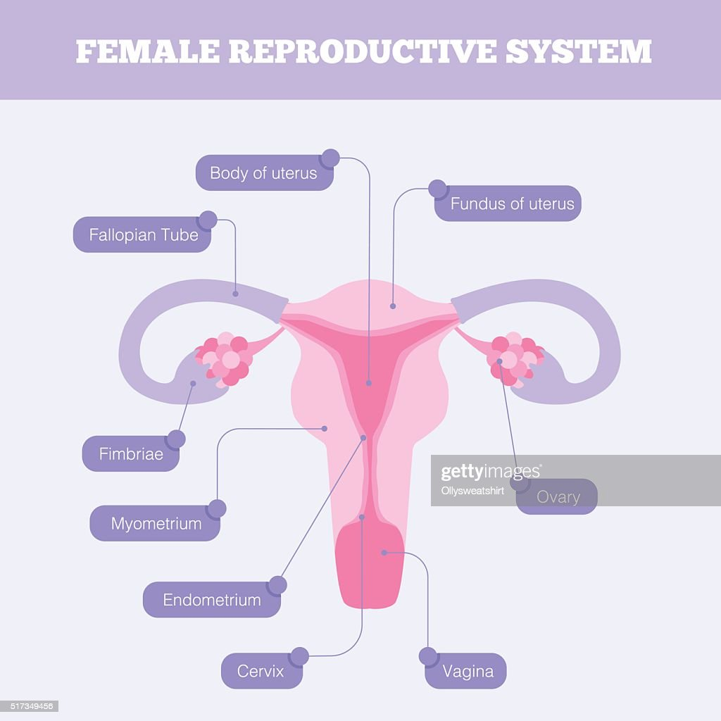 Female reproductive system flat vector infographic