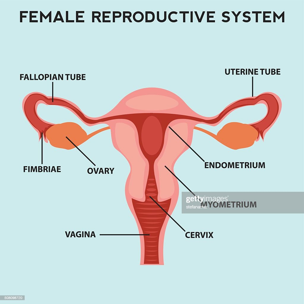 Female Reproductive System Image Diagram Vector Art Getty Images