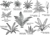 Fern collection illustration, drawing, engraving, ink, line art, vector