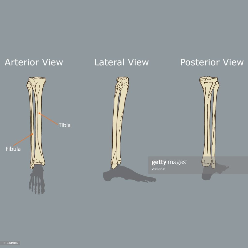 Fibula And Tibia Anatomy Vector Art | Getty Images
