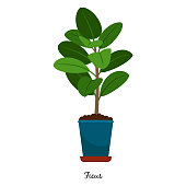 Ficus plant in pot