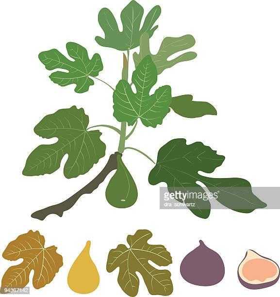 fig - fig tree stock illustrations