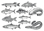 Fish collection illustration, drawing, engraving, Lina art, realistic, vector