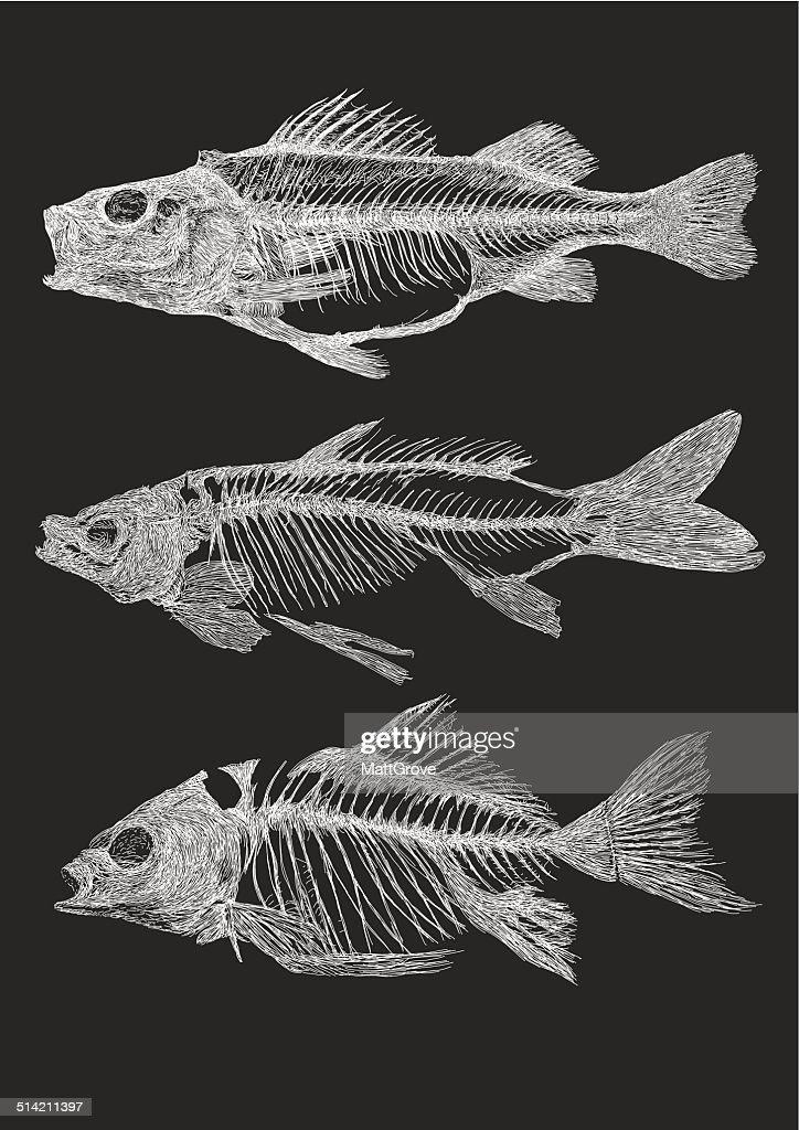 Fish Skeletons : stock illustration