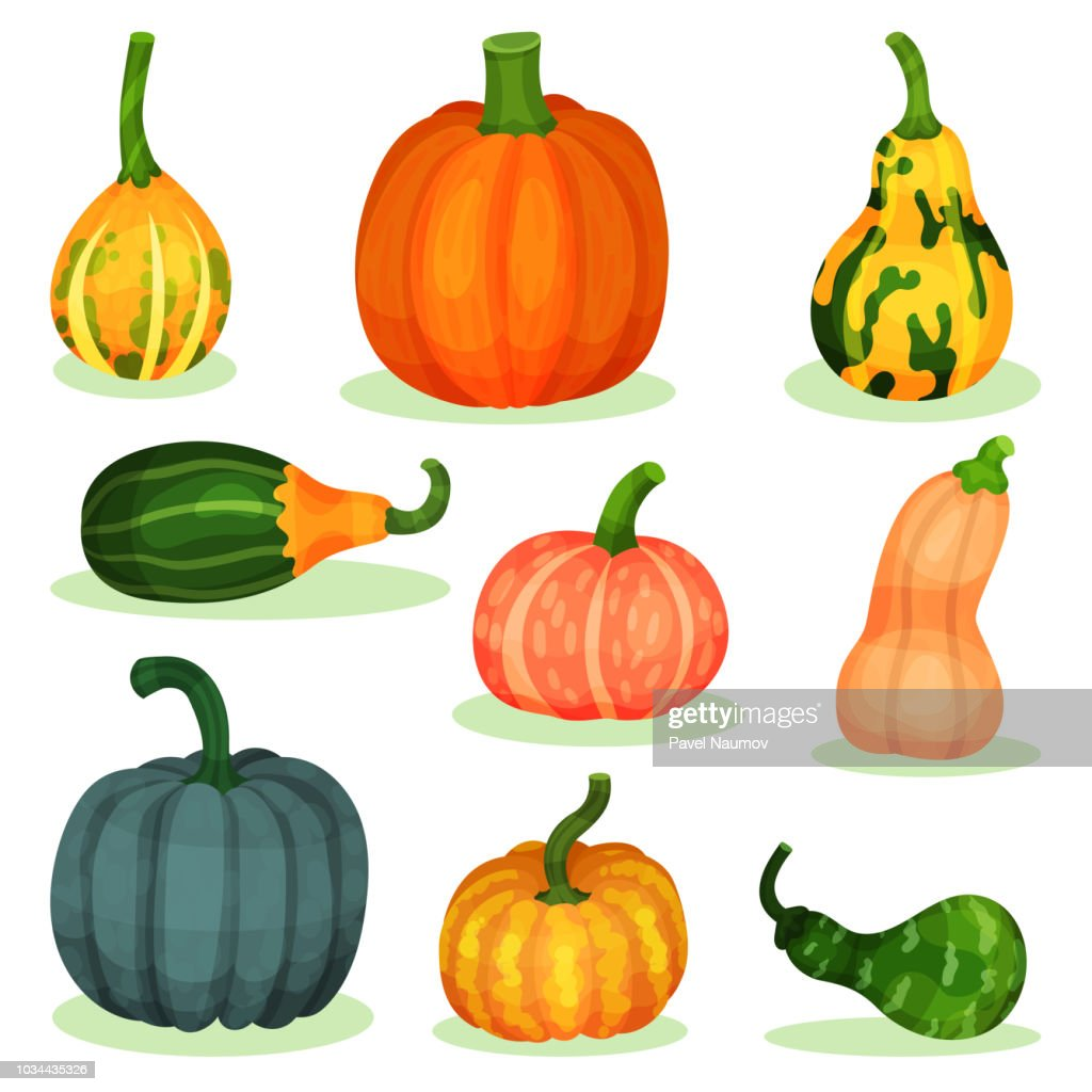 Flat vector set of different ripe pumpkins. Natural farm product. Agricultural plant. Organic and healthy food