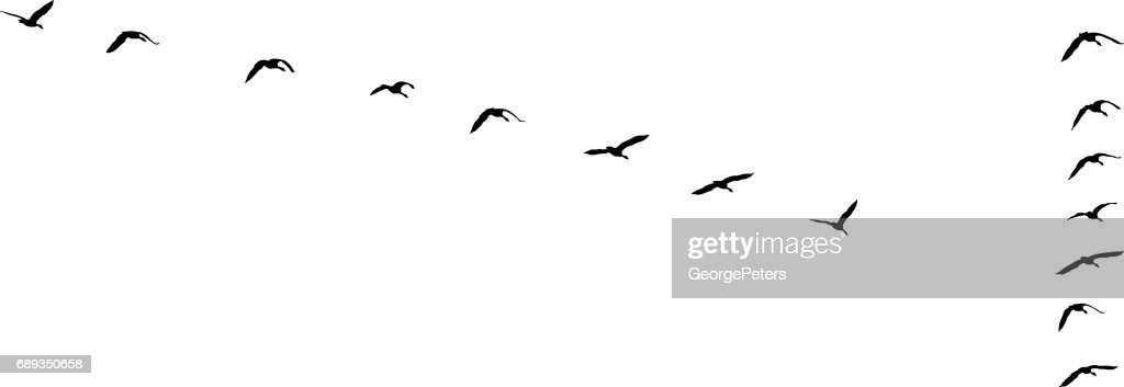 Flock of Canada Geese flying in v-formation and migrating : Stock Illustration