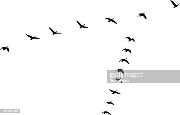 Flock of Canada Geese flying in v-formation and migrating