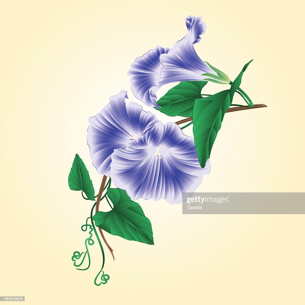 Flower Morning glory  blue  vector