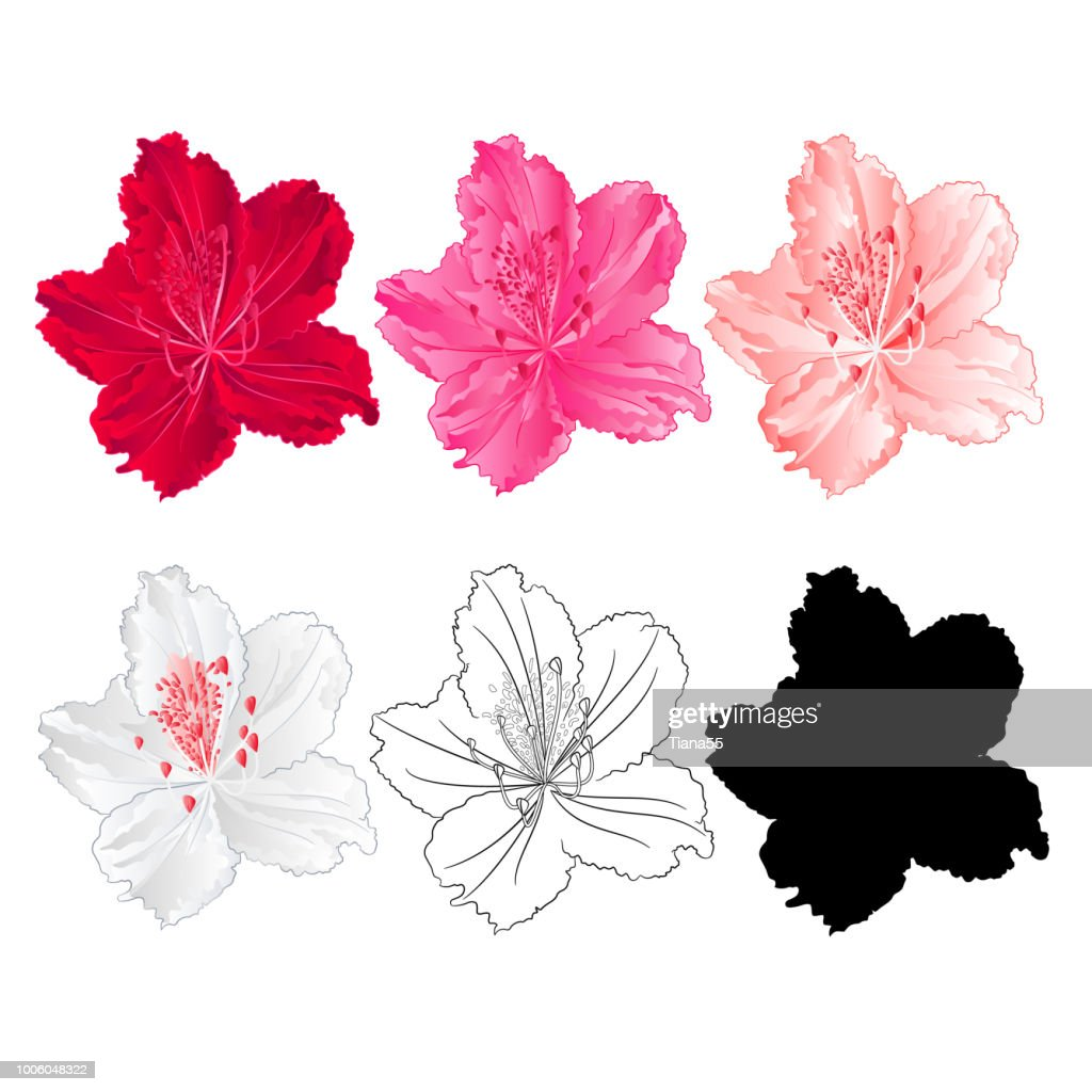 Flower rhododendron mountain shrub red,pink, light pink, white , outline and silhouette on a white background  vintage bloom ten vector illustration editable