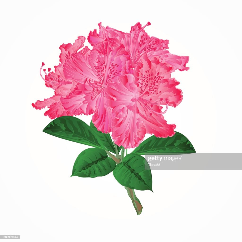 Flowers pink rhododendrons twig vector