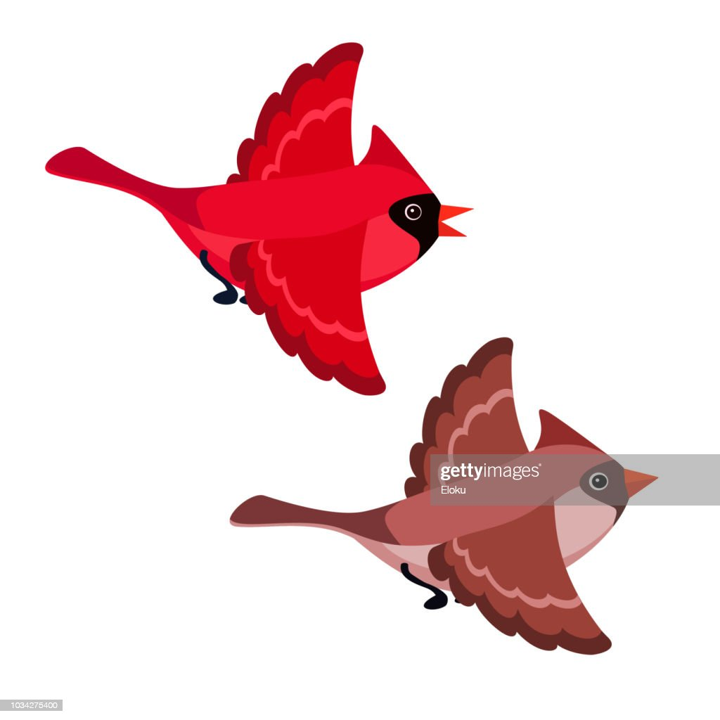 Flying cardinals isolated on white background