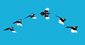 flying sequence of magpie, multiple exposure, vector illustration