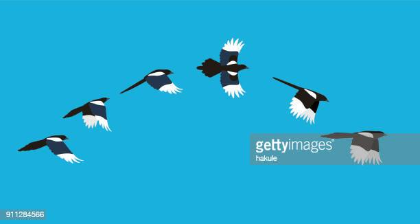 flying sequence of magpie, multiple exposure, vector illustration - multiple image stock illustrations, clip art, cartoons, & icons