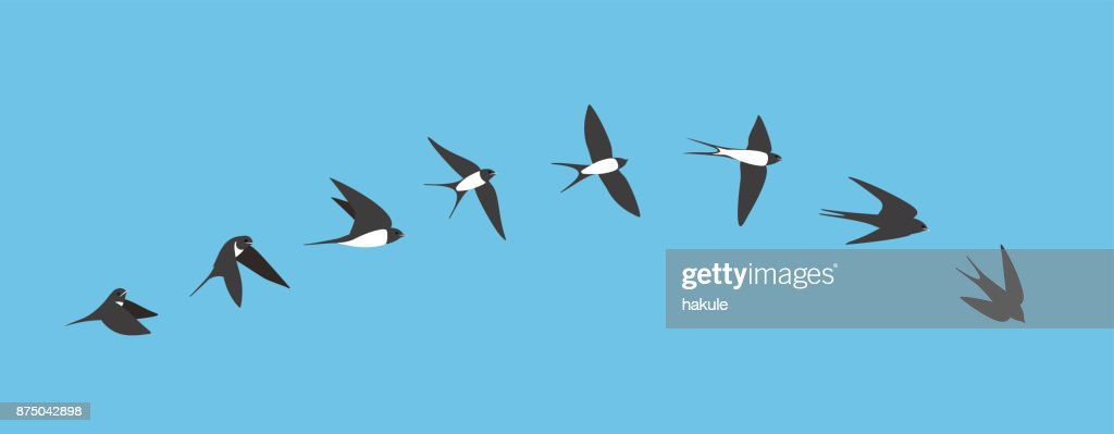 flying sequence of swallow, multiple exposure, vector