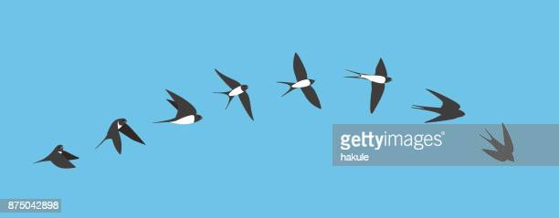 flying sequence of swallow, multiple exposure, vector - multiple image stock illustrations, clip art, cartoons, & icons