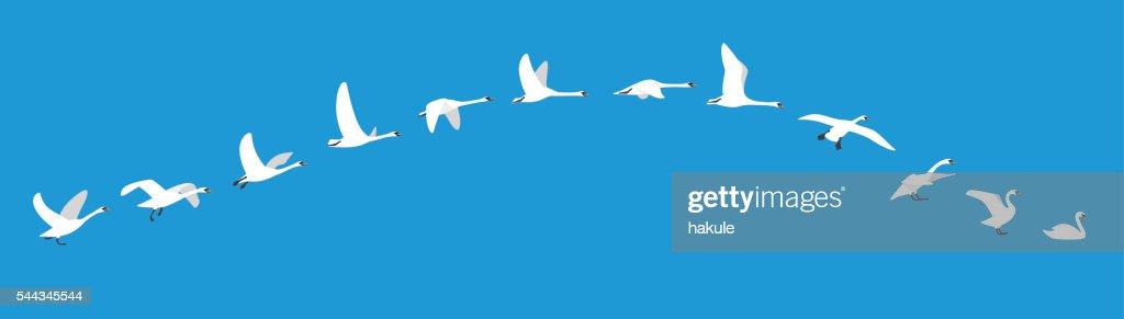 flying sequence of swan, multiple exposure, vector illustration : Ilustración de stock