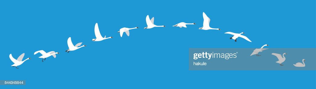 flying sequence of swan, multiple exposure, vector illustration
