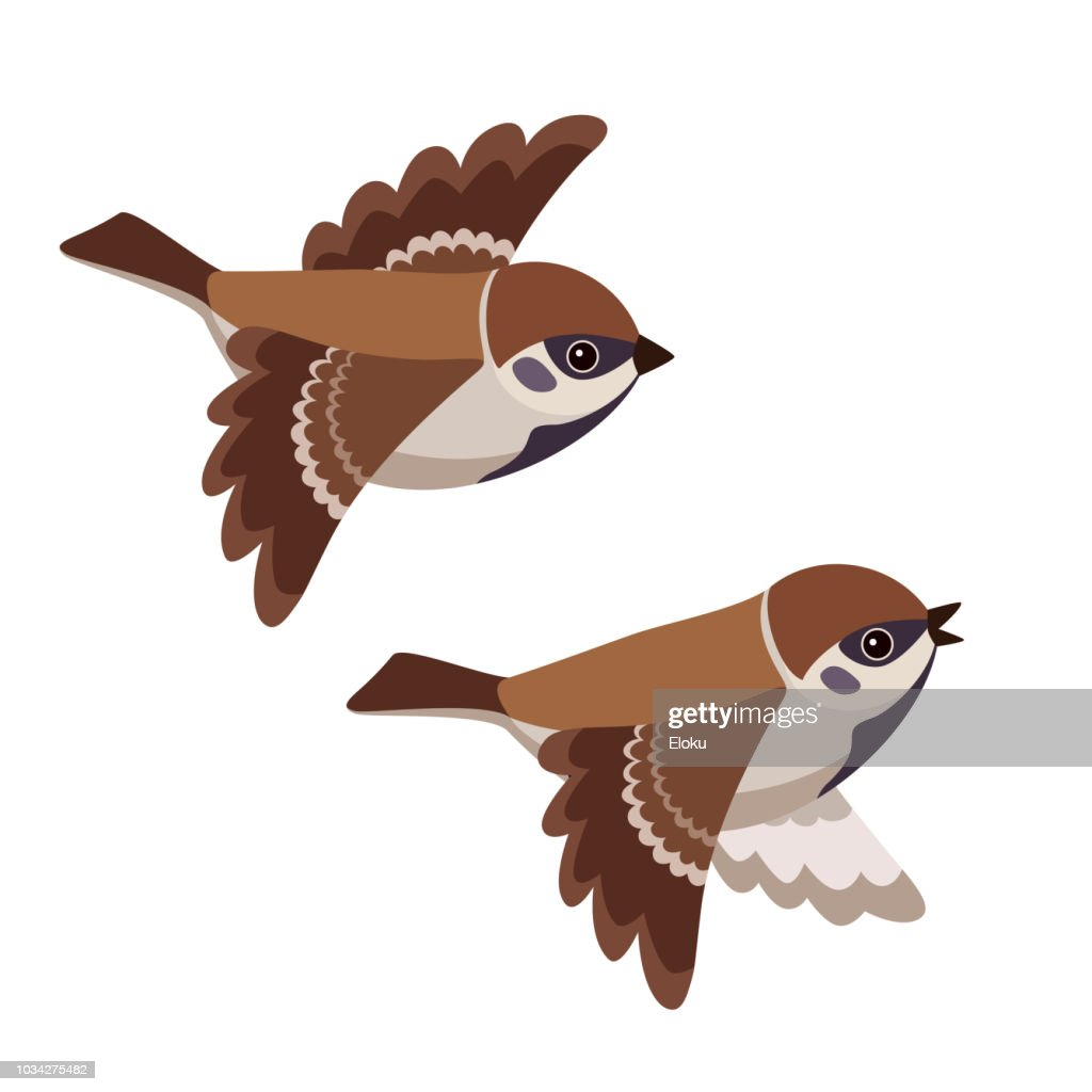 Flying two Tree Sparrows isolated on white background