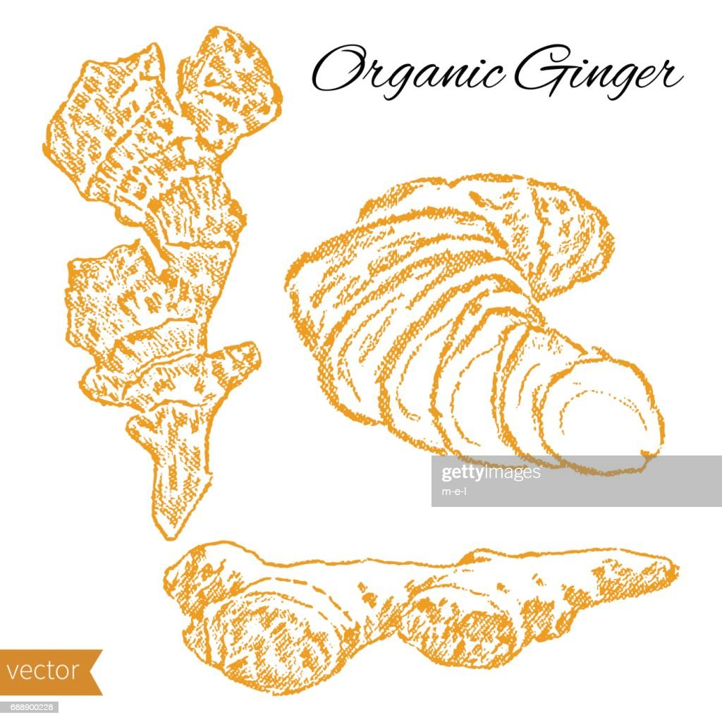 Fresh ginger root hand drawn vector sketch isolated on white background, food kitchen ingredient, organic natural spicy for healthy market, restaurant menu, harvest festival, cosmetic design