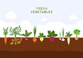 Fresh organic vegetable garden on blue sky background. Garden with different kind root veggies. Set vegetables plant growing underground: carrot, onion, potatoes, radish, daikon, beet, garlic, celery