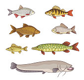 Freshwater fish - vector illustration