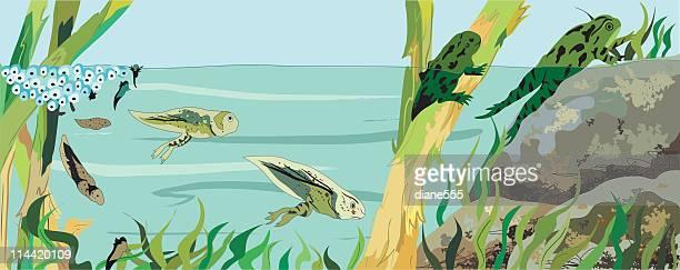 frog life cycle - life cycle stock illustrations