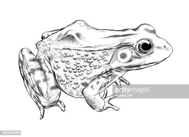 frog vector illustration in pen and ink isolated on white - pen and ink stock illustrations
