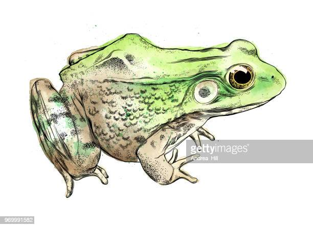 frog vector illustration in watercolor and ink isolated on white - frog stock illustrations