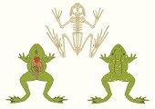frog, zoology, anatomy of amphibian,