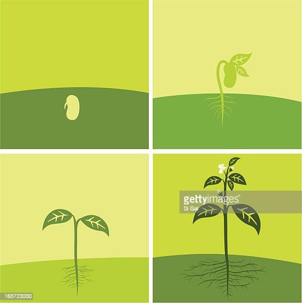 ilustraciones, imágenes clip art, dibujos animados e iconos de stock de de semilla de planta - grano planta