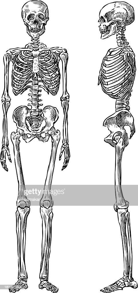 Front side and side view of human skeleton