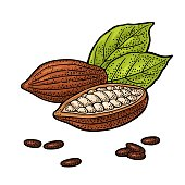 Fruits of cocoa with leaves and beans. Engraving