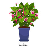 Fuchsia plant in pot