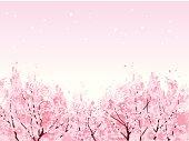 Full bloom of beautiful Cherry blossom trees