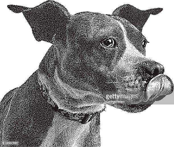 Funny Portrait of Boxer and Pit Bull mixed breed dog