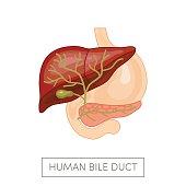 Gallbladder duct vector