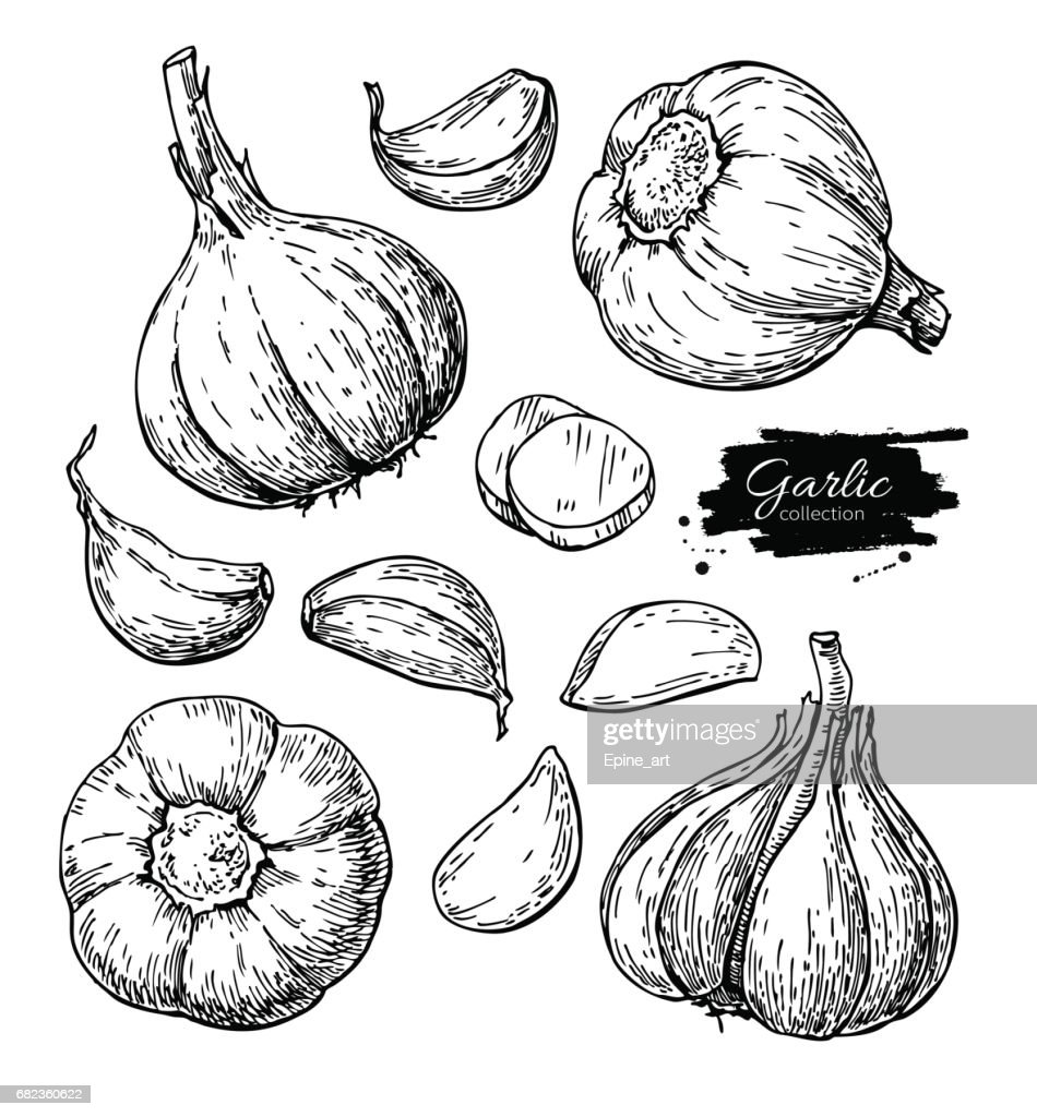 Garlic hand drawn vector illustration set. Isolated Vegetable, clove, sliced pieces.  Engraved style