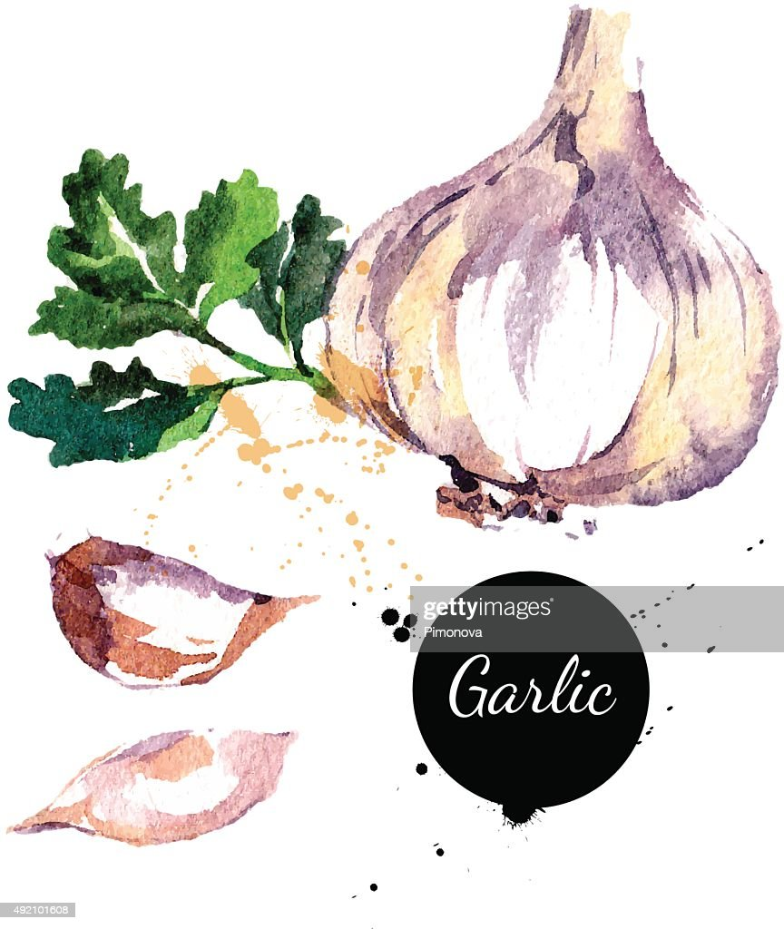 Garlic. Hand drawn watercolor painting on white background. Vect