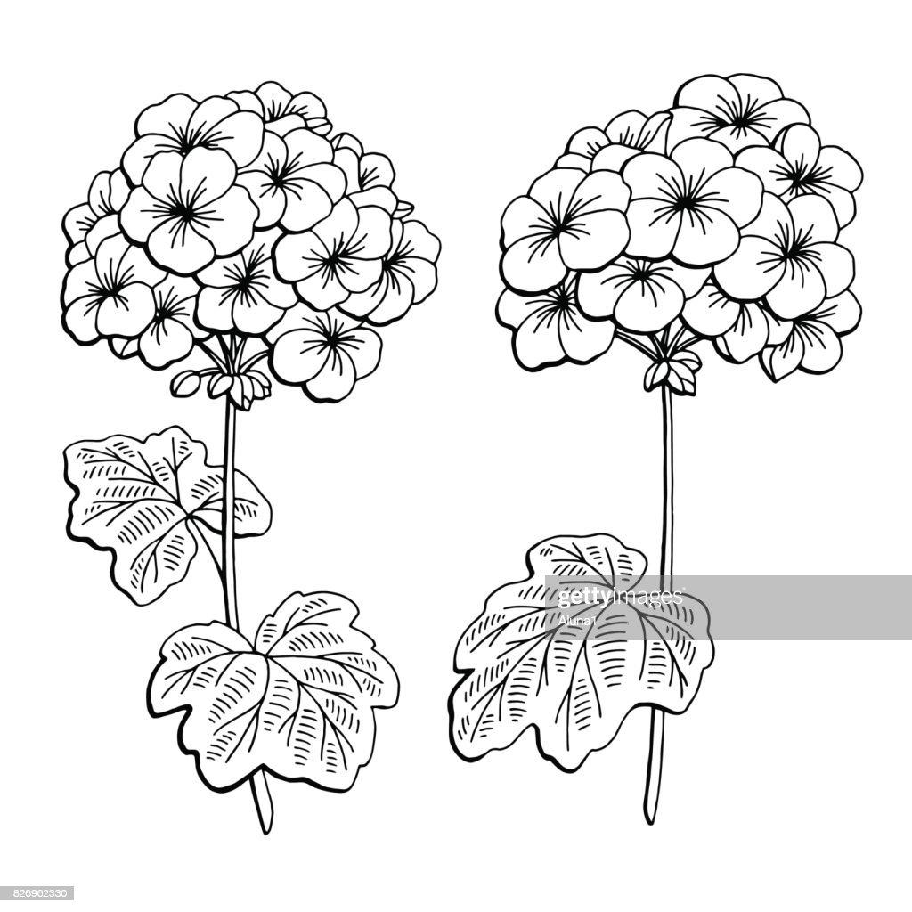 Geranium flower graphic black white isolated sketch illustration vector