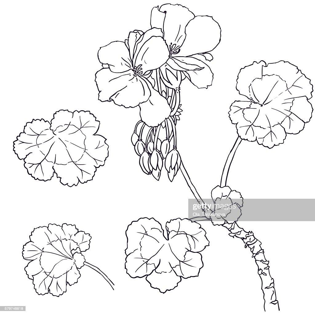 Geranium flowers, buds, leaves