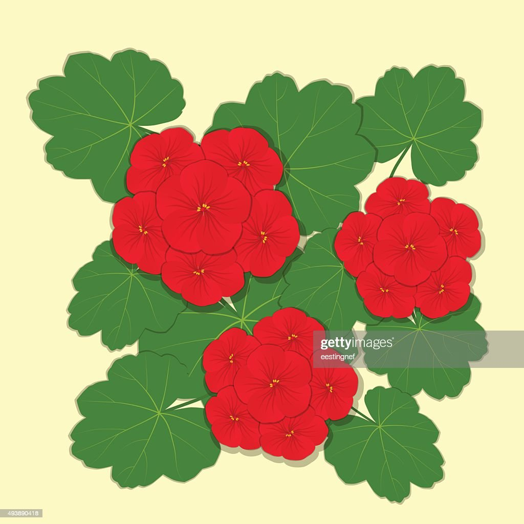 Geranium red flower.
