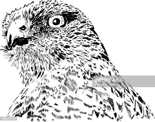 geranoaetus melanoleucus portrait - iberian peninsula stock illustrations, clip art, cartoons, & icons